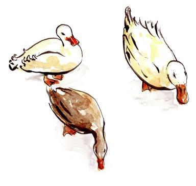 ducks_web